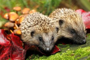 two hedgehogs (2)